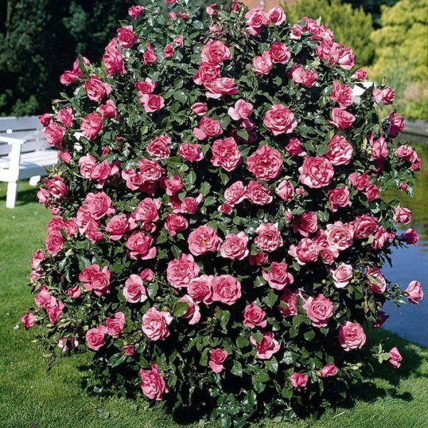 Розы шрабы делятся на 3 группы: полуплетистые, плетистые и вьющиеся