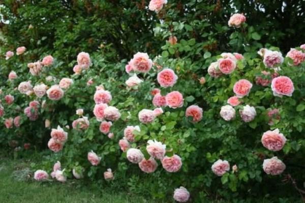 Кусты роз Абрахам Дерби