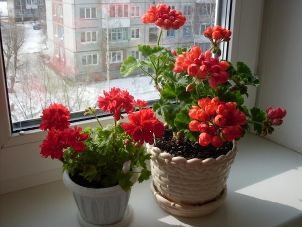 Растение любит свет, тепло, устойчиво к жаре