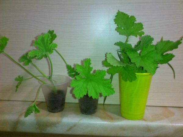 Укоренять черенки Душистой Герани можно в почве или в воде