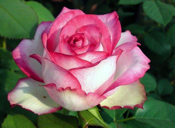 Чайно-гибридная роза