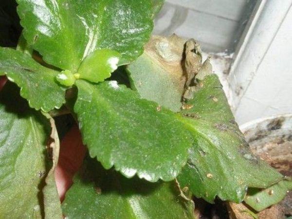 Листья поражены щитовкой