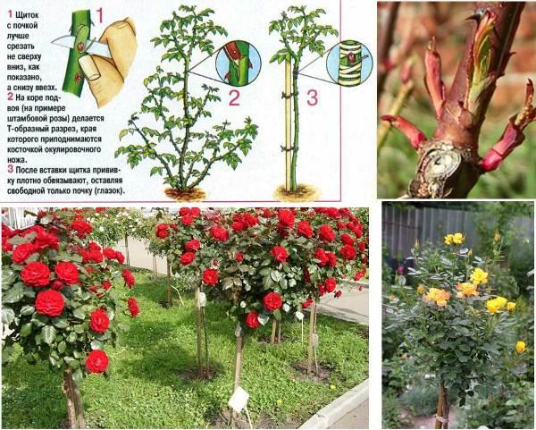 Схема прививки Штамбовой розы