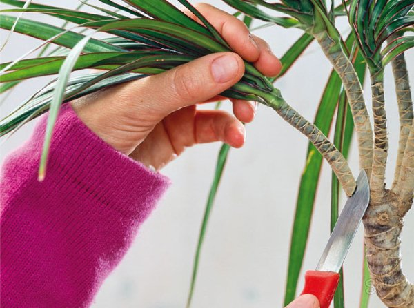 Верхушку растения 10-15 см длиной срежьте острым лезвием и поместите в темную, непрозрачную емкость с водой