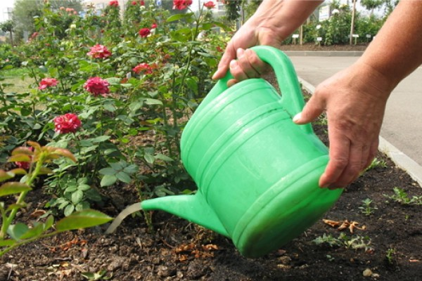 Поливать Парковые розы нужно редко, но много