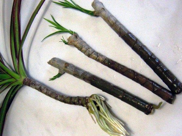 Размножение драцены кусочками стебля