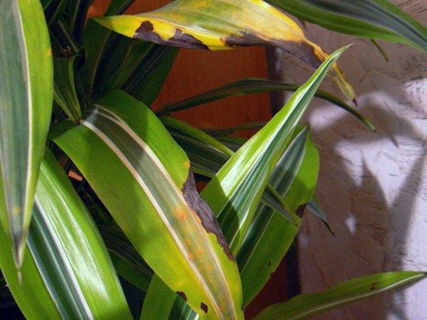 Из-за неправильного полива листья драцены Деремская желтеют