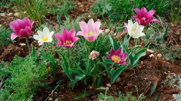 Дикие виды этого прекрасного цветка являются прямыми предками наших декоративных тюльпанов