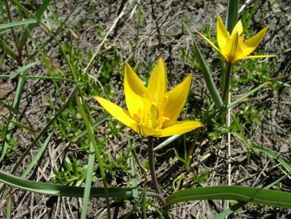 Карликовые тюльпаны в дикой природе