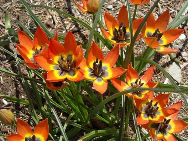 Цветение Карликовых тюльпанов