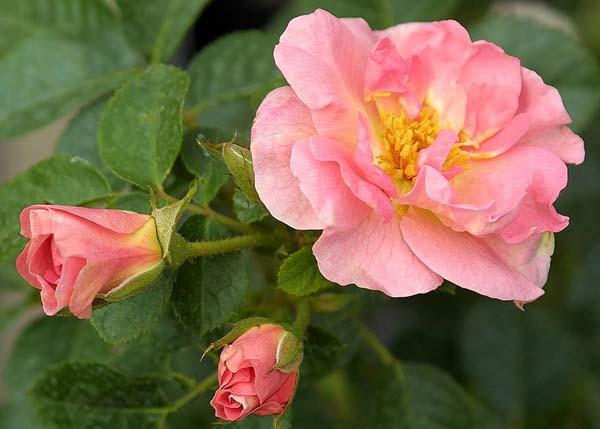 Достоинства вида — урожайность, морозостойкость, устойчивость к повышенной влажности