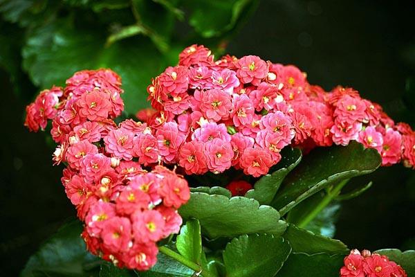 Каланхоэ в цвету