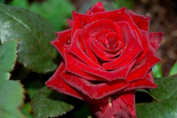 Чайно-гибридная красная роза