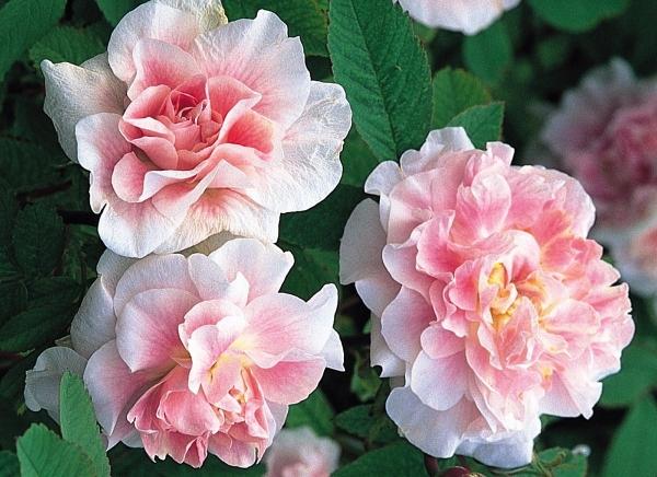 Розы сорта Мартин Фробишер