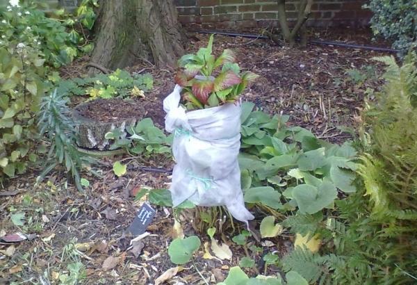 Осенью удалить соцветия, окучить ствол торфом или листьями, обернуть мешковиной
