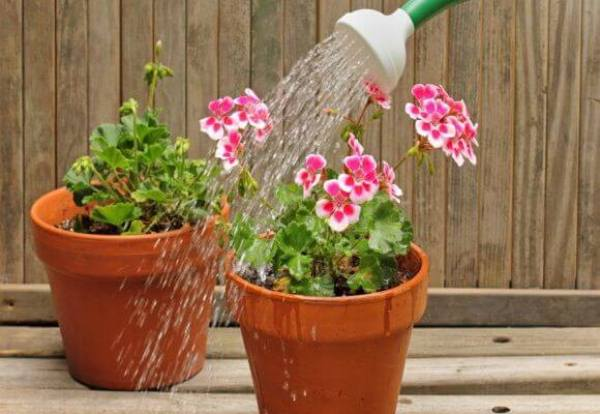 Поливать герань необходимо тщательно — по мере высыхания земли
