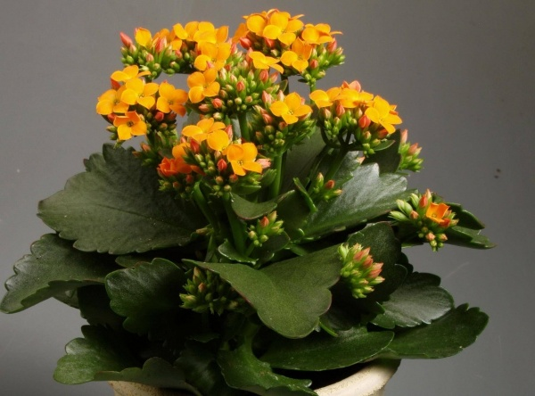 Родина комнатного растения каланхоэ – теплые тропики Южной Африки, остров Мадагаскар