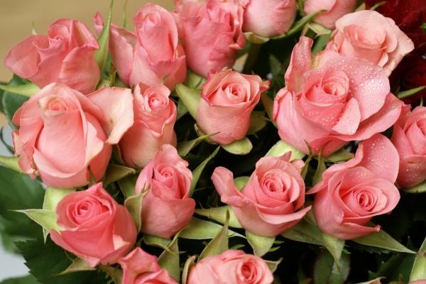 Розовый цвет лепестков королевы цветов означает любезность, восхищение, учтивость, нежность