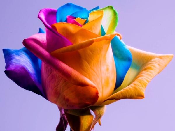 Радужные розы обязаны своим появлением на свет голландскому флористу Питеру ван дер Веркену