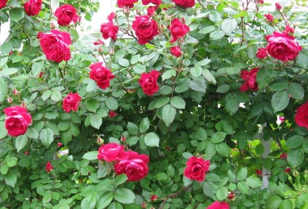 Роза сорта Квадра