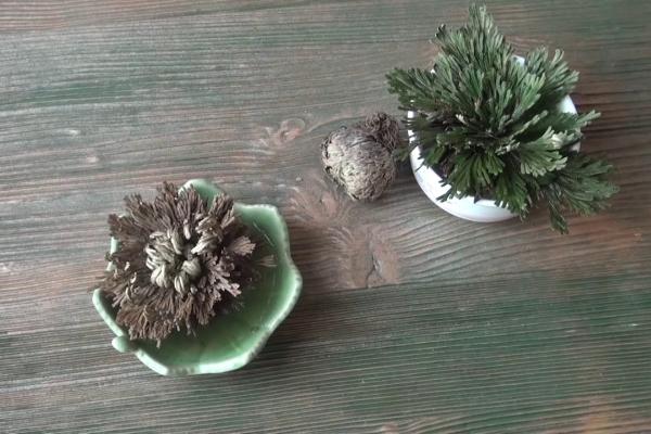 Иерихонская роза: описание растения и выращивание