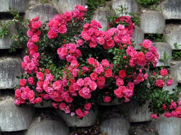 Розы миниатюрные отличаются низким ростом, продолжительным, обильным цветением