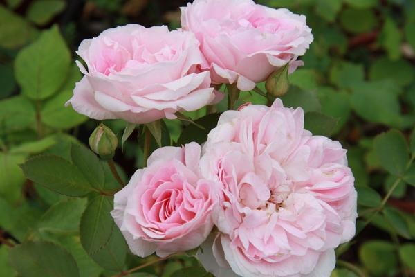 Канадскую розу можно выращивать в условиях холодного климата