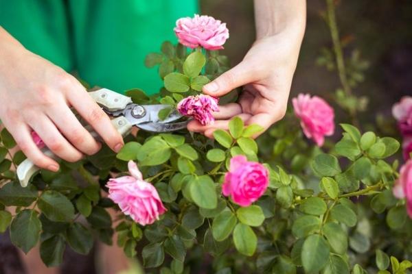 Обрезка в начале весны относится к обязательным процедурам, без нее кусты быстро зарастут, цветы обмельчают
