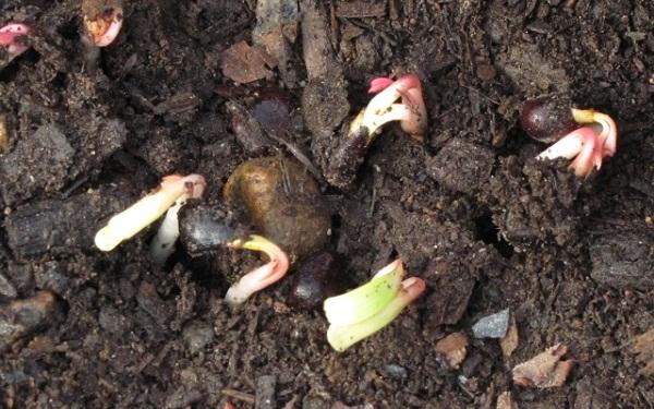 Выращенные из семян пионы тонколистные зацветают не скоро в отличие от размноженных вегетативно