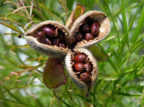 Семена тонколистного пиона на кусте