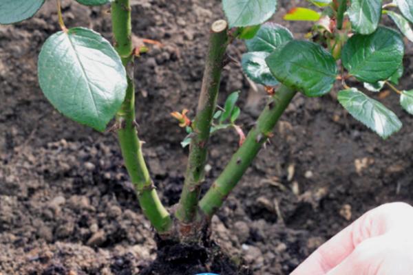 Полиантовые розы очень любят возвышенности, в посадочной яме необходимо предварительно сделать дренаж