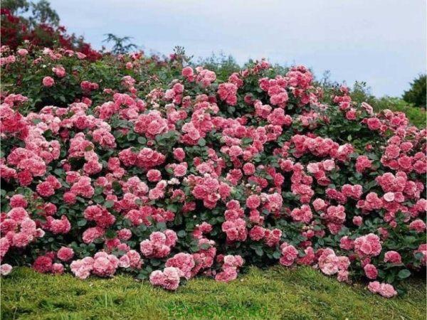 Кустовые розы используют для украшения газонов и создания живой изгороди