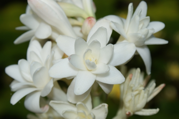 Тубероза: описание цветка, посадка и уход в открытом грунте