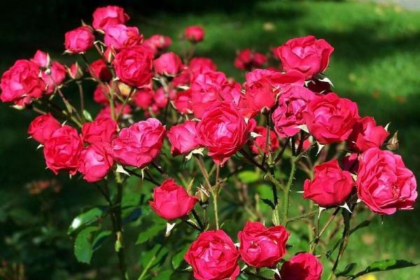 Полиантовые розы – это гибрид, результат скрещивания китайской чайной и японской карликовой