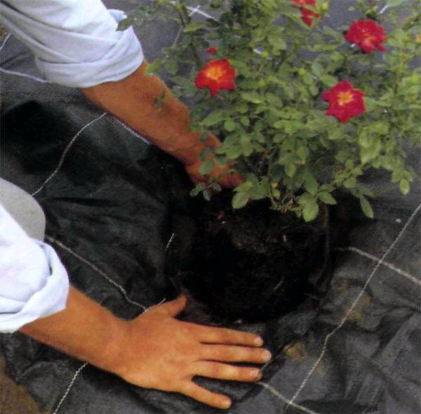 Весна наиболее благоприятное время года для посадки почвопокровной розы