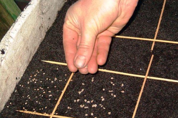 Сеять семена герани можно с начала марта