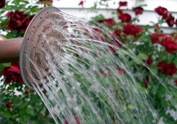 Полив Штамбовых роз дождеванием не рекомендуется, так как он усиливает поражаемость болезнями