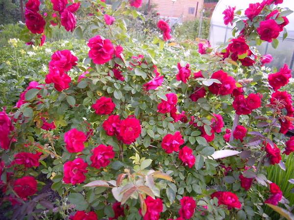 Основой для выведения морозостойких сортов роз для Сибири являются канадские и некоторые гибридные сорта