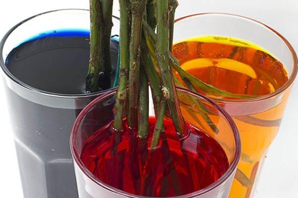 Достичь отдельных оттенков лепестков можно только путем погружения расщепленных стеблей в отдельные емкости с окрашенной водой