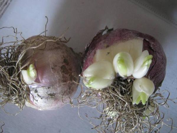 Луковица Карликового тюльпана с детками