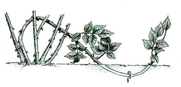 Схема размножения Парковых роз отводками