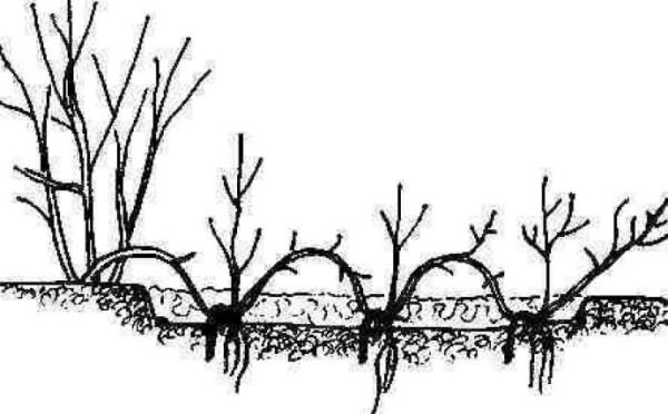 Размножение роз схема