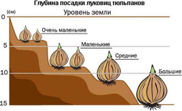 Схема посадки луковиц Карликовых тюльпанов