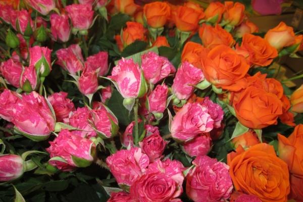 Голландские розы: описание и сорта, посадка и уход