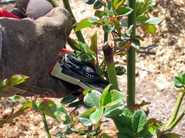 Не подкармливайте розы в конце лета, на зиму после посадки утеплите, обрезайте слабые и отмершие веточки