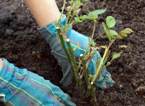 Посадочный сезон роз в Сибири начинается с мая, когда грунт прогреется до 10 градусов