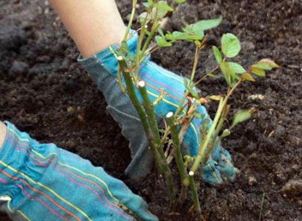 Перед тем как приступать к высаживанию роз нужно предварительно подготовить для этого землю
