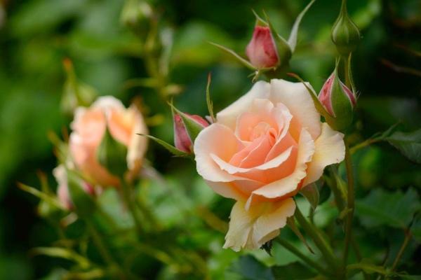 Чайная роза: описание, посадка и уход в домашних условиях