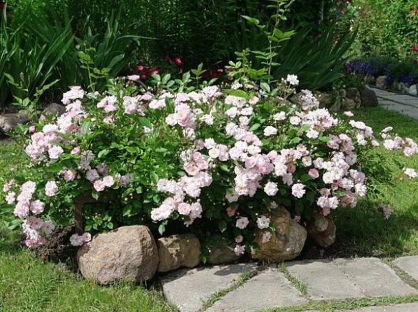 Миниатюрные или карликовые розы активно используется для украшения садов, парков