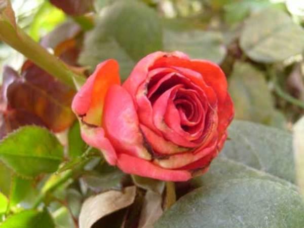 Бутон розы поражен серой гнилью